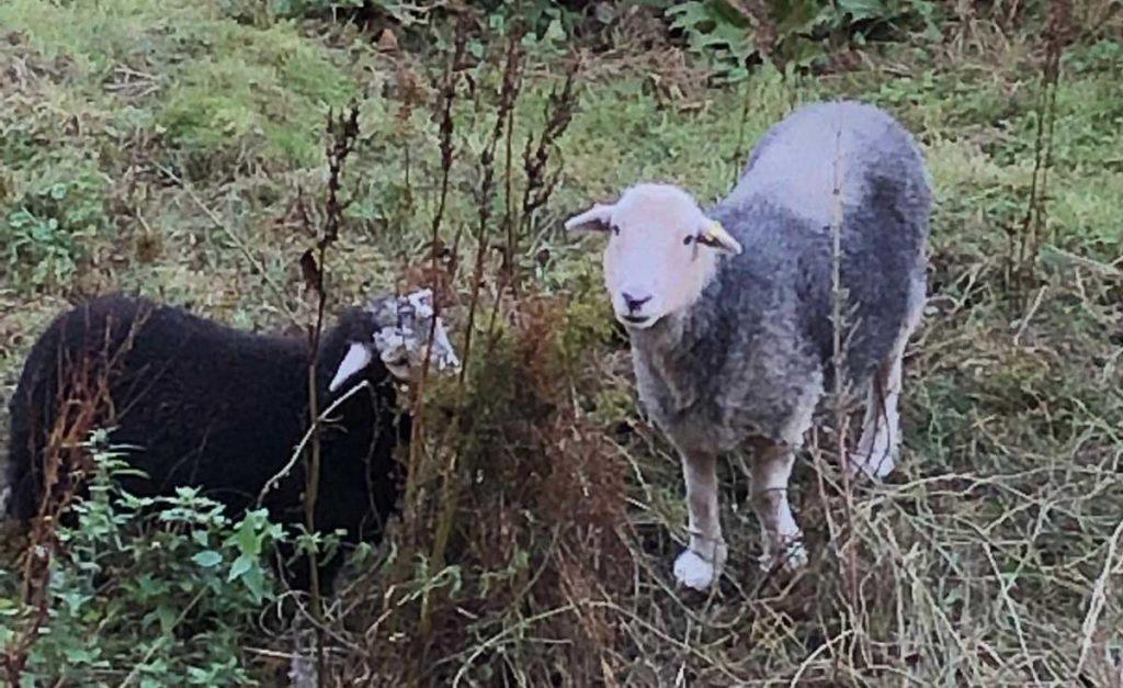 Sheep at Herstmonceux Castle